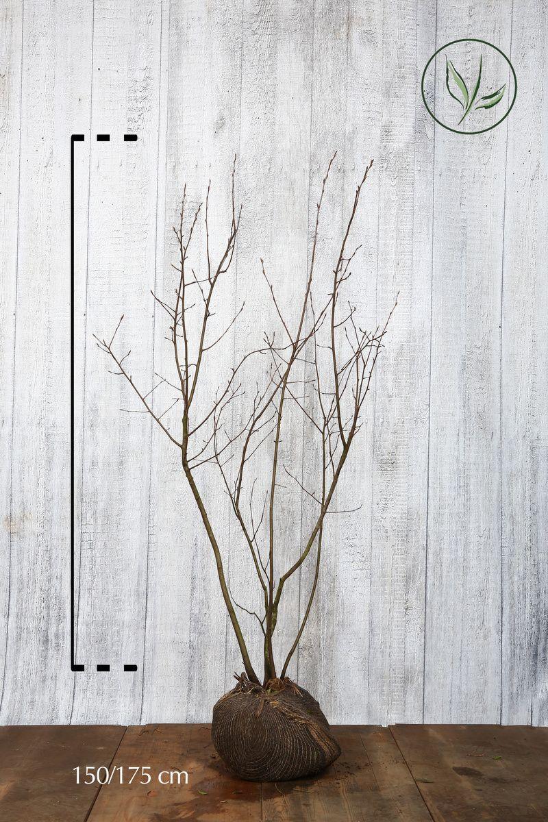 Prakthäggmispel Klump 150-175 cm