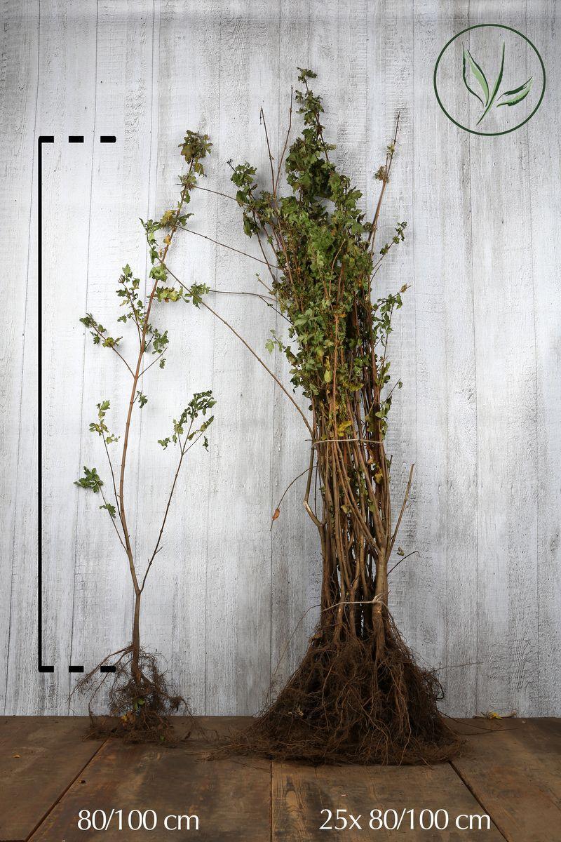 Naverlönn Barrotad 80-100 cm Extra kvalitet