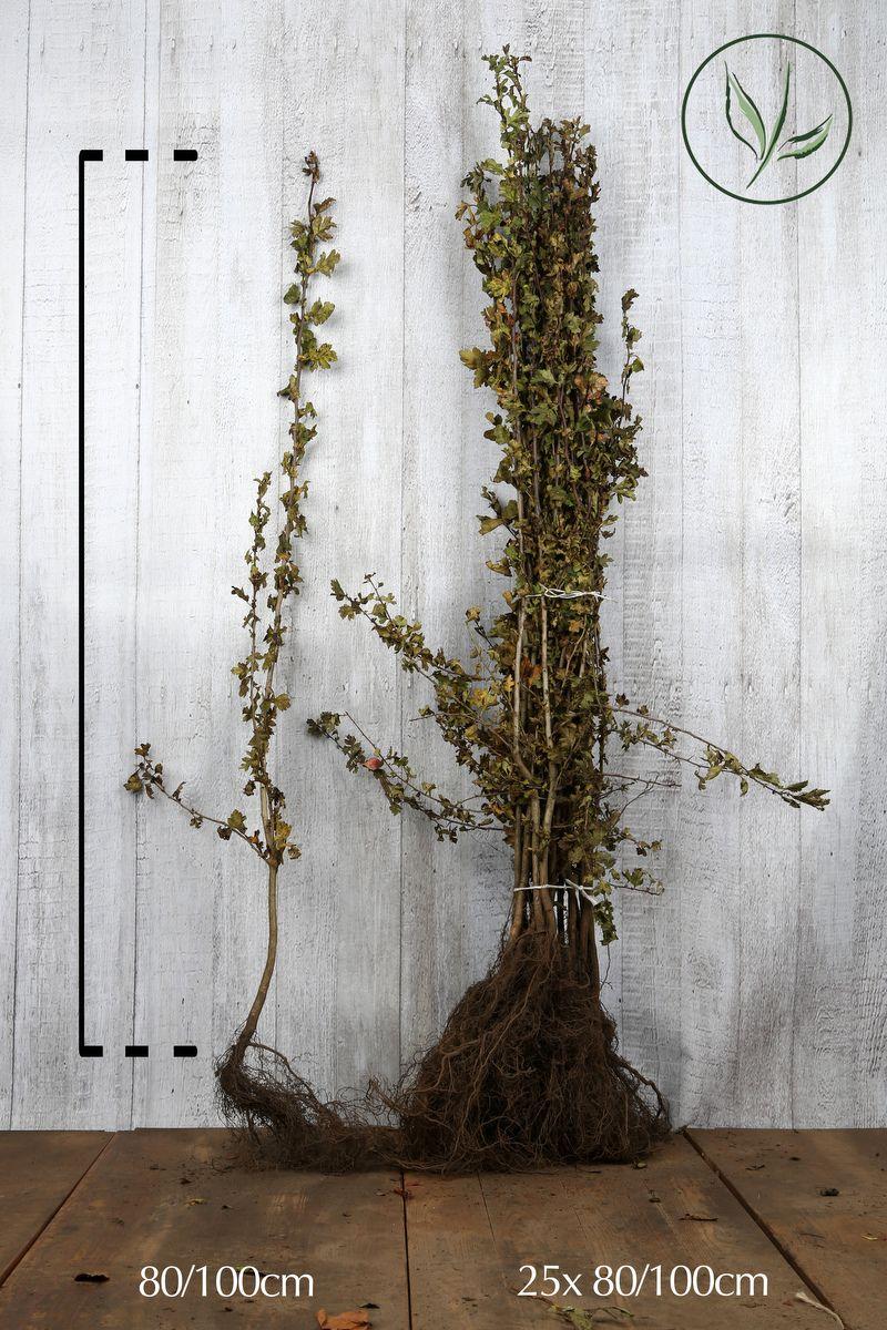 Trubbhagtorn Barrotad 80-100 cm