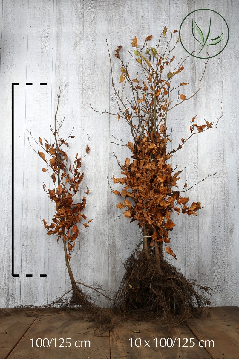 Bok Barrotad 100-125 cm Extra kvalitet