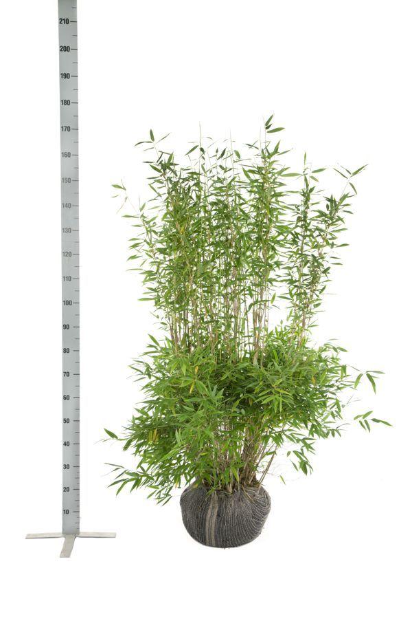 Bergbambu 'Jumbo' Klump 125-150 cm