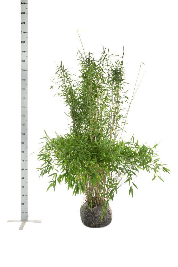 Bergbambu 'Jumbo' Klump 150-175 cm