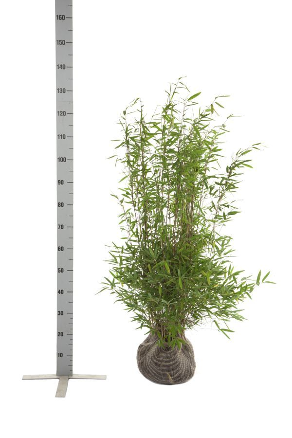 Glansbambu 'Nitida' Klump 80-100 cm