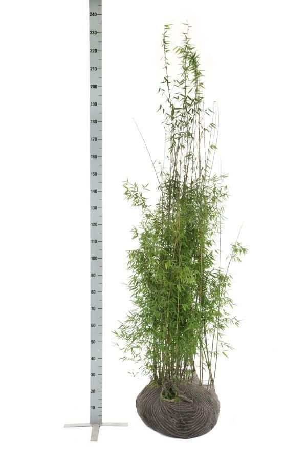 Glansbambu 'Jiuzhaigou' Klump 175-200 cm