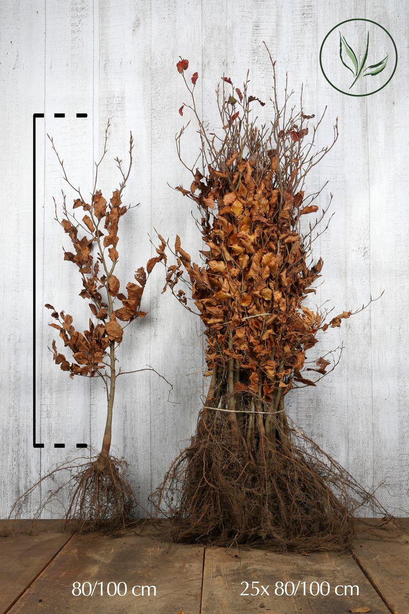 Blodbok Barrotad 80-100 cm Extra kvalitet