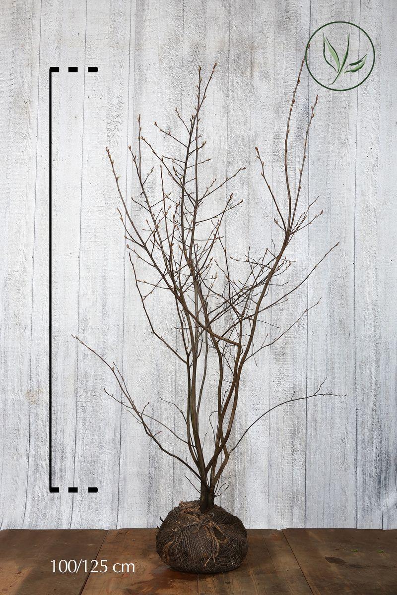 Prakthäggmispel Klump 100-125 cm