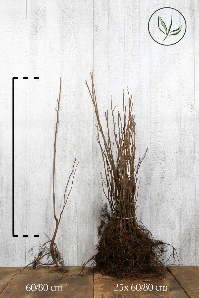 Prakthäggmispel Barrotad 60-80 cm