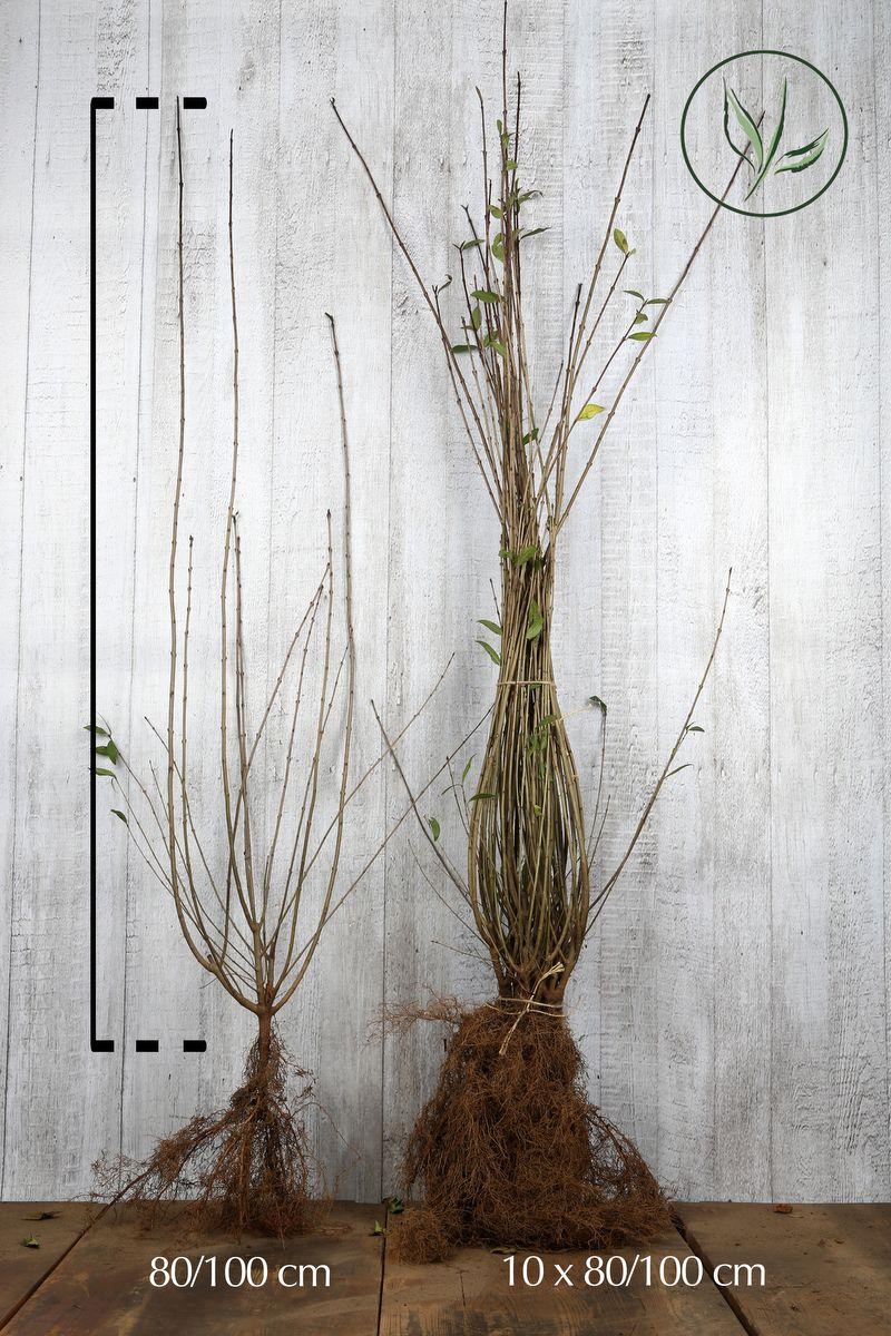 Liguster Barrotad 80-100 cm
