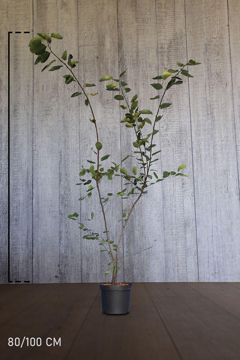 Prakthäggmispel Kruka 100-125 cm