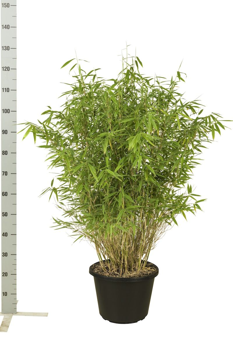 Bergbambu 'Jumbo' Kruka 100-125 cm
