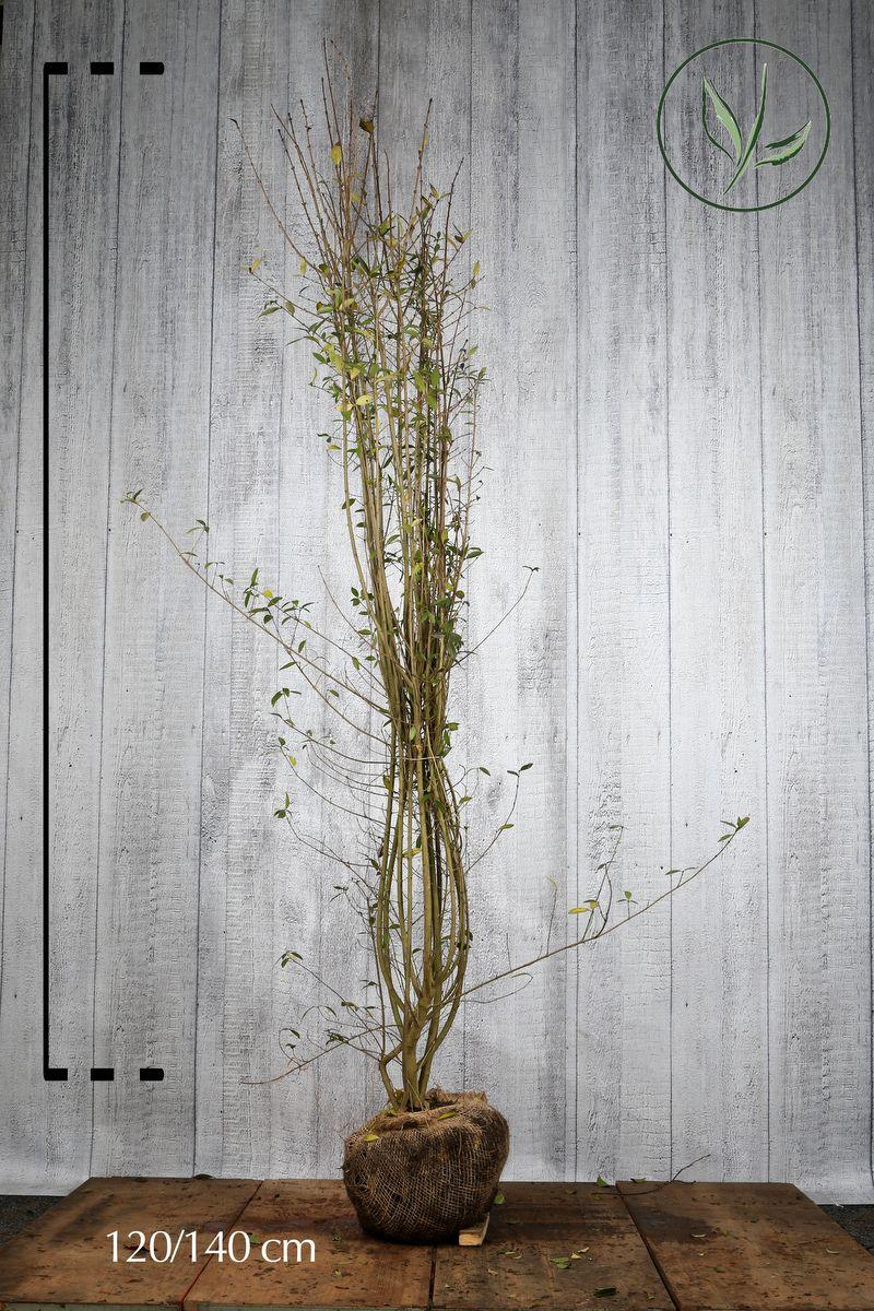 Vintergrön liguster Klump 120-140 cm