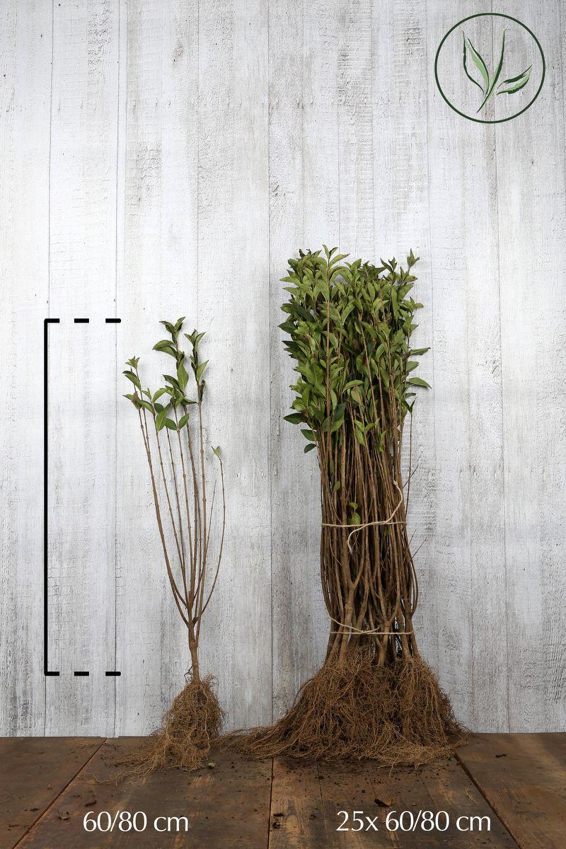 Gulbrokig bredbladsliguster Barrotad 60-80 cm