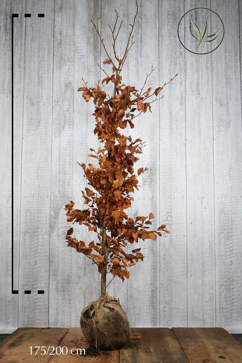 Bok Klump 175-200 cm Extra kvalitet