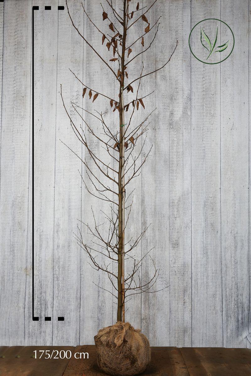 Avenbok Klump 175-200 cm Extra kvalitet