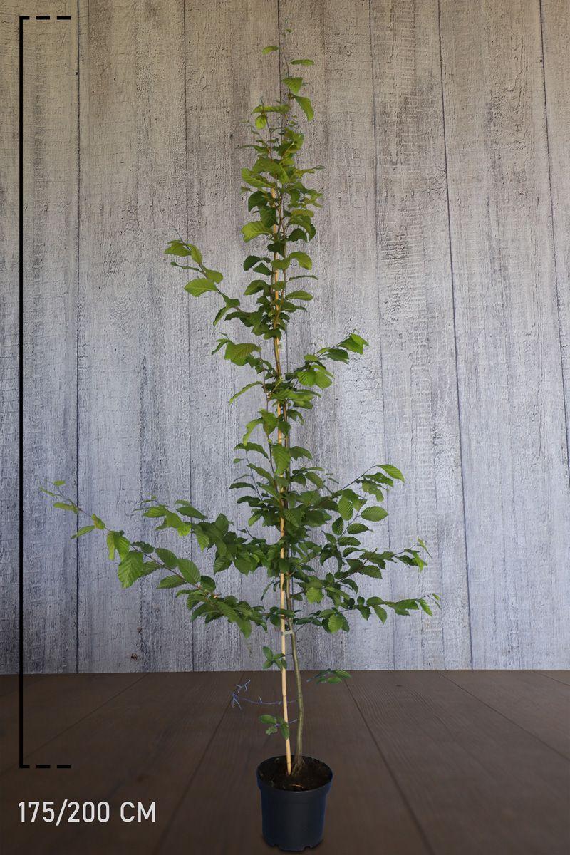 Avenbok Kruka 175-200 cm Extra kvalitet