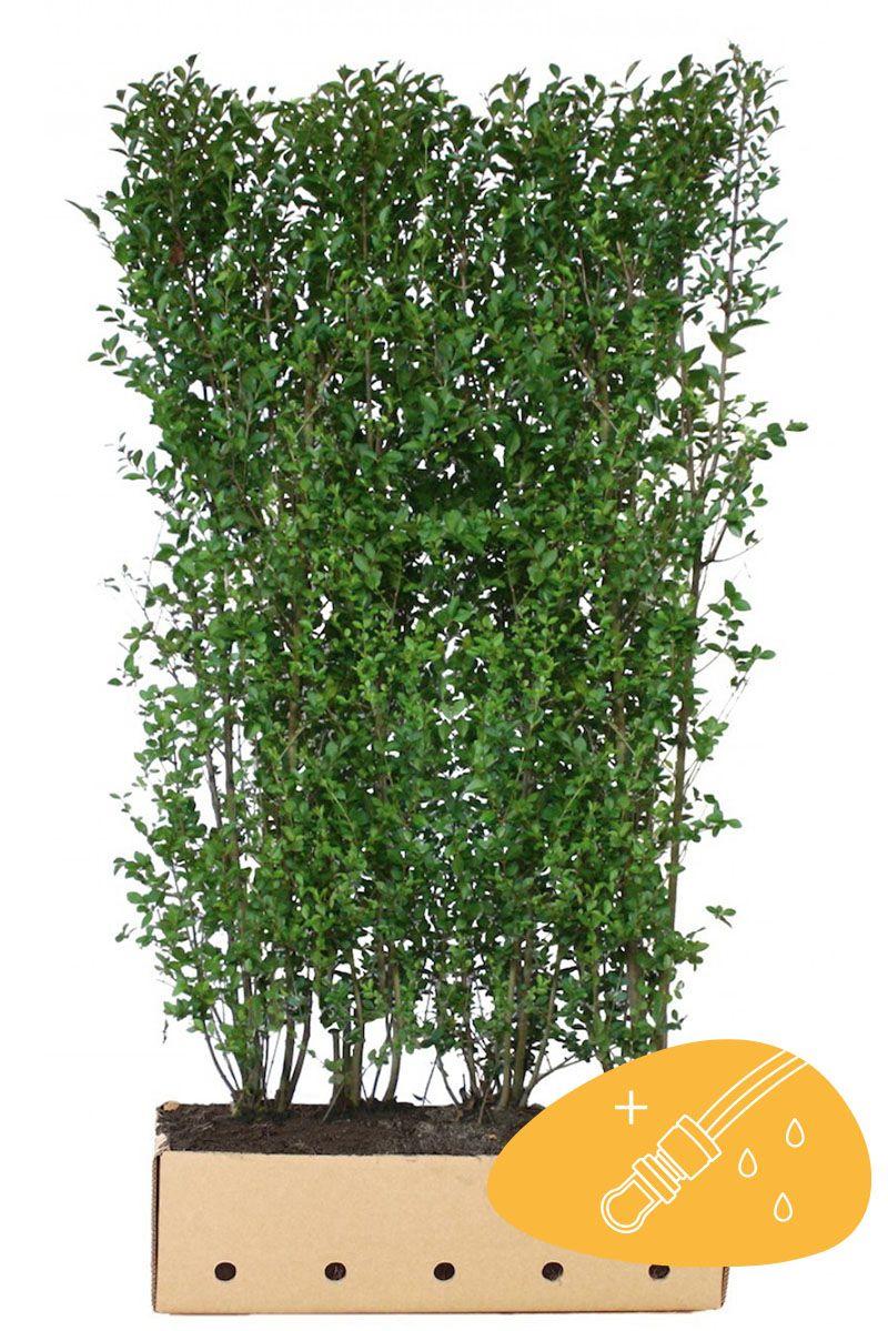Vintergrön liguster Färdiga häckar 200 cm Färdig häck