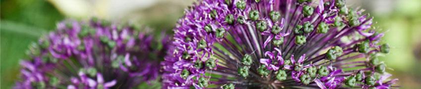 Allium sfeerfoto