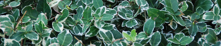 Benved - inte bara en giftig växt
