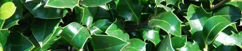Ilex aquifolium 'Alaska' som häckväxt