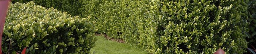 Ilex crenata 'Dark Green': ett populärt alternativ till buxbom