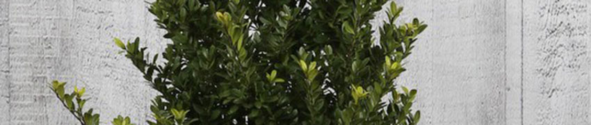 ilex-crenata-dark-green-popular