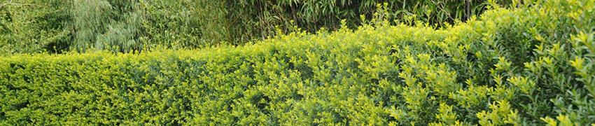 Ilex crenata: ett starkt alternativ till buxbom