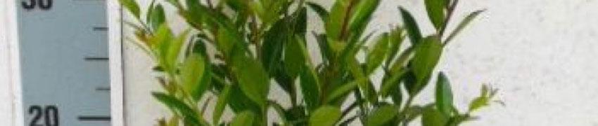 Ilex maximowicziana 'Kanehirae': det bästa alternativet till buxbom?