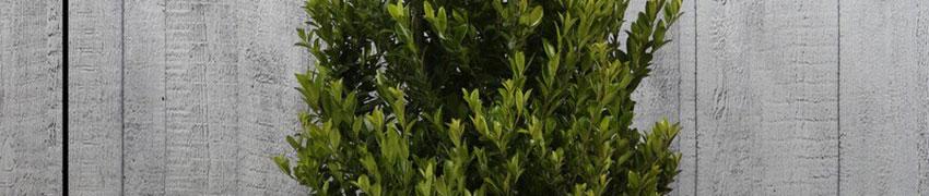 Ilex maximowicziana 'Kanehirae' som buxbomsersättare i din trädgård