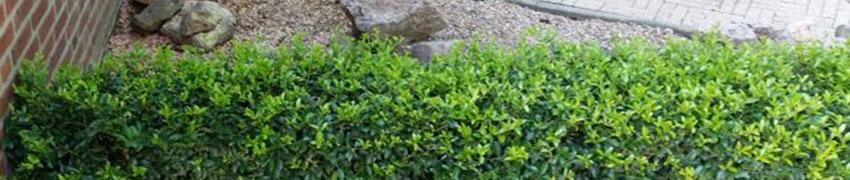 Ilex maximowicziana 'Kanehirae' som ersättare för buxbom