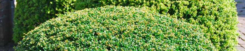 Japansk järnek 'Convexa' i trädgården