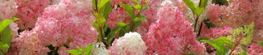 Köp hortensia på Hackvaxteronline.se
