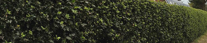 Köp Ilex aquifolium 'Alaska' online