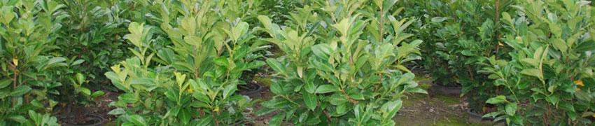 Köp lagerhägg 'Rotundifolia' online