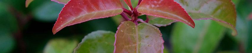 Lagerhägg 'Tico' som häckväxt