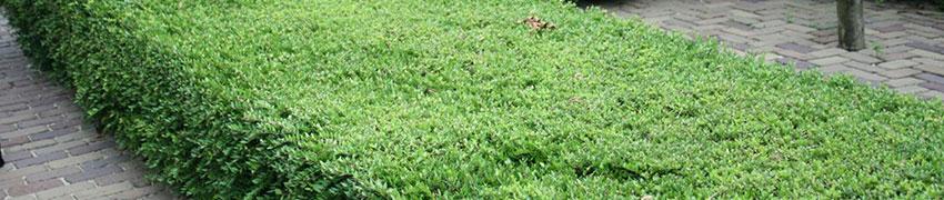 Plantering av Lonicera nitida