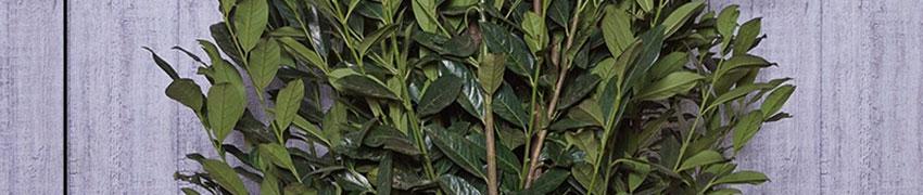 Plantering och skötsel av lagerhägg 'Elly'®