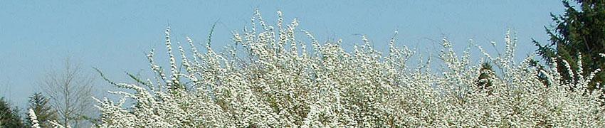 Spirea 'Grefsheim' - en ljuvlig växt