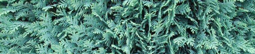 Barrväxter som häck