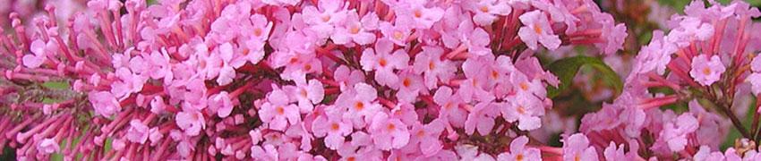 Fjärilsbuske som häck