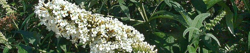 Häck av fjärilsbuske
