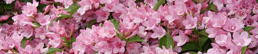 Lövfällande häckväxter till trädgården