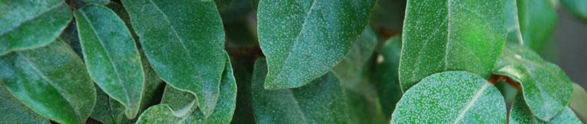 Silverbuske till häck