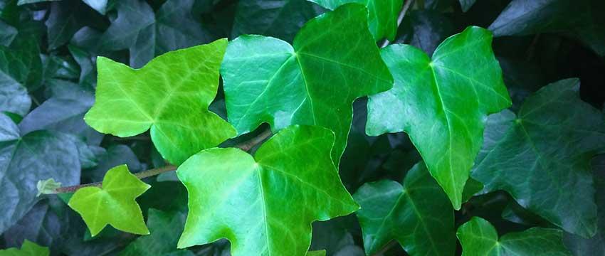 Beskärning av murgröna