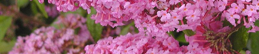 Blommande buskar efter årstid