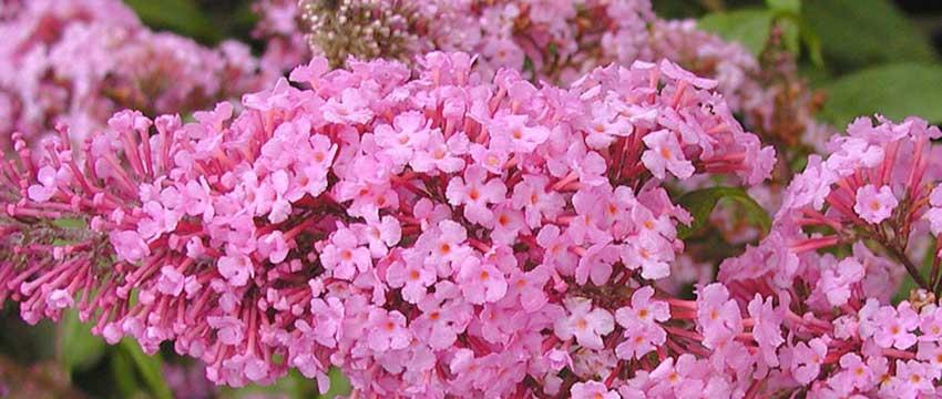 Blommande häck