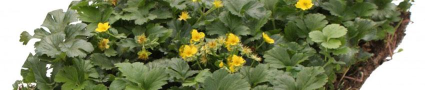 Blommande marktäckare