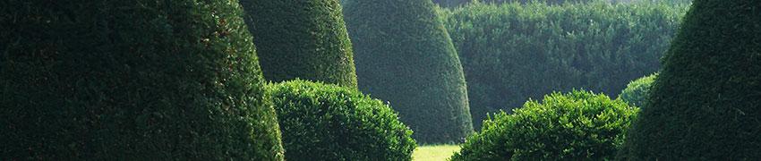 Fördelar med barrväxthäckar