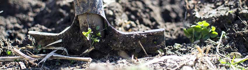 Håll din häck av Ilex crenata vacker efter planteringen