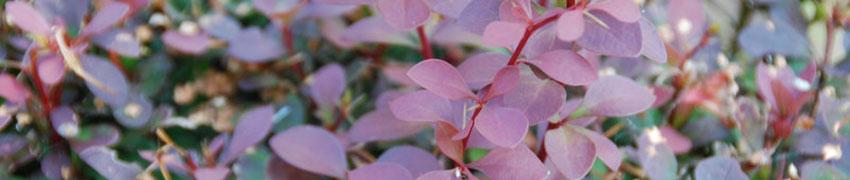 Häckplantor - härkomst och ändamål