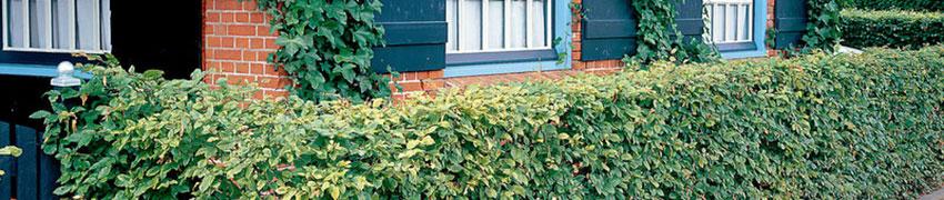 Häckväxter online